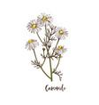 branch camomile medicinal herb vector image