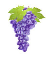 watercolor grape with leafs on white vector image