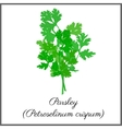 Parsley isolated on white top view vector image vector image