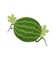 watermelon growing isolated fruit with leaves vector image vector image