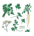 botanical drawing of parsley leaves flowers or vector image