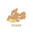 ginger root vector image
