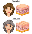 Woman with young and aged skin vector image vector image