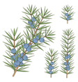 Set of juniper branches vector image