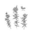 vintage botanical engraving of thyme vector image