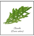 Rucola isolated on white top view vector image vector image