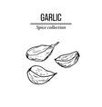 spice collection garlic hand drawn vector image vector image