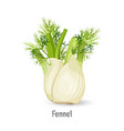 florence fennel or finocchio selection with vector image vector image