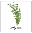 Thymus isolated on white top view vector image