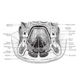 section through mouth vintage vector image vector image