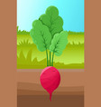beetroot growing in ground vector image