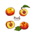 peach fruit drawing ripe peach fruit cut in half vector image vector image