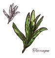 tarragon estragon green leaf sketch of spice herb vector image vector image