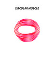 structure skeletal muscle circular muscle vector image vector image