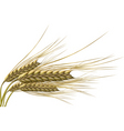 wheat grain vector image vector image