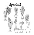 hyacinth growth tree stage life sketch design vector image vector image
