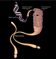 Internal structure of a chromosome vector image vector image