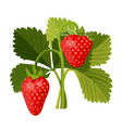 strawberry with green leaves isolated on white vector image