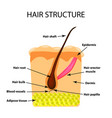 structure hair infographics vector image vector image