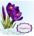 Background with purple crocuses in the snow vector image vector image
