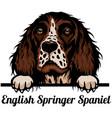 head english springer spaniel - dog breed color vector image vector image