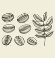 coffee branch plant vector image vector image