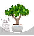 crassula ovata plant in pot banner vector image