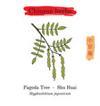 medicinal herbs of china japanese pagoda tree vector image vector image
