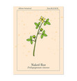 naked rue psilopeganum sinense medicinal plant vector image vector image