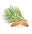 Pinecone on a white background vector image