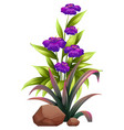 purple flowers with leaves on white background vector image vector image