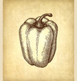 ink sketch of bell pepper vector image vector image