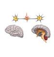 anatomy of the brain vector image vector image