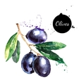 Hand drawn watercolor painting olives on white vector image vector image