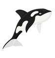killerwhale large whale with black and white vector image