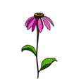 Color hand drawing flower Echinacea vector image