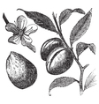 Almond tree vintage engraving vector image