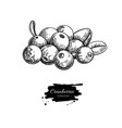 cranberry drawing isolated berry heap vector image