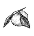 ink sketch of mandarin orange vector image vector image
