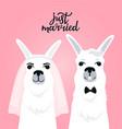 couple llamas newlyweds bride in veil the groom vector image