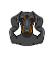 portrait dachshund dog with muscules vector image vector image