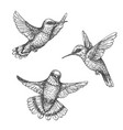 flying hummingbirds sketch vector image vector image