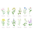 wild herbs set with names isolated wildflowers vector image