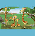 family of giraffes vector image vector image