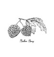 hand drawn of balloon berries on white background vector image vector image