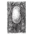 egg cluster gipsy moth vintage vector image vector image