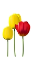 Red and yellow tulips isolated on white background vector image vector image