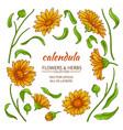 calendula elements set vector image
