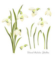 set of flowers of snowdrops botanical vector image