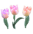 beautiful pink tulips - objects isolated vector image vector image